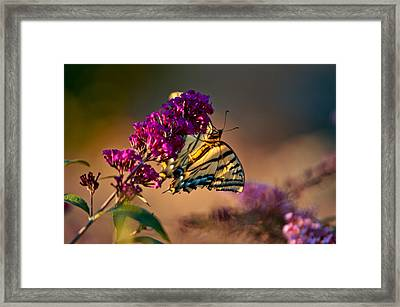 Tiger Swallowtail Butterfly Framed Print by Laura Scott