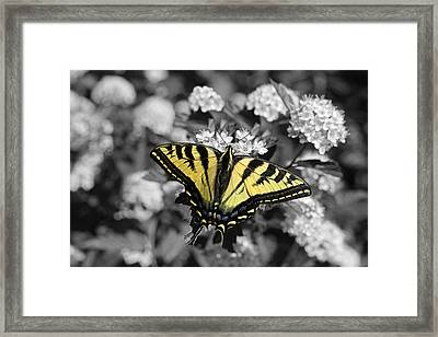 Tiger Swallowtail Butterfly Selective Color Framed Print by Jennie Marie Schell