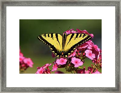 Tiger Swallowtail On Phlox Framed Print by John Burk