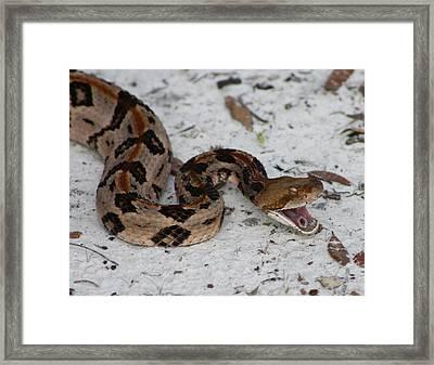 Timber Rattler Framed Print by Dana  Oliver