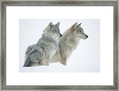 Timber Wolf Portrait Of Pair Sitting Framed Print by Tim Fitzharris