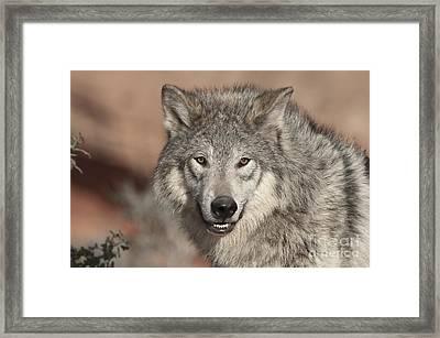 Timber Wolf Portrait Framed Print by Sandra Bronstein
