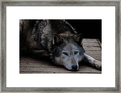 Timber Wolves Framed Print by Martin Newman