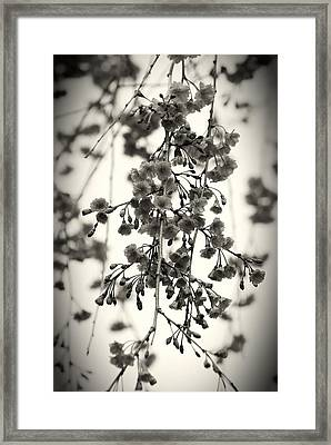 Tiny Buds And Blooms Framed Print by Angie Tirado
