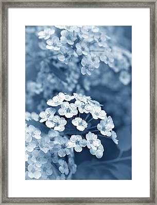 Tiny Spirea Flowers In Blue Framed Print by Jennie Marie Schell