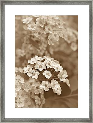 Tiny Spirea Flowers In Sepia Framed Print by Jennie Marie Schell