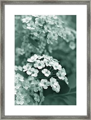 Tiny Spirea Flowers In Teal Framed Print by Jennie Marie Schell
