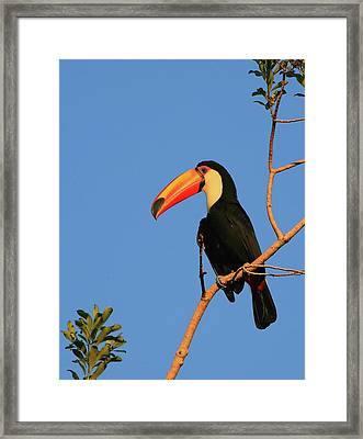 Toco Toucan Framed Print by Bruce J Robinson