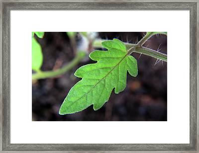 Tomato Plant Framed Print by Aidan Moran