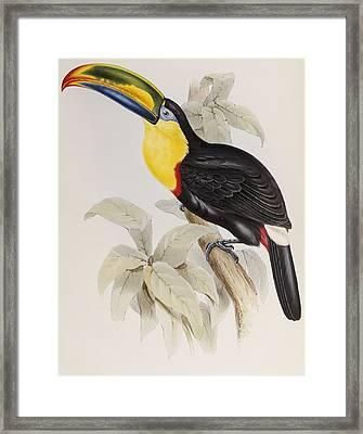 Toucan Framed Print by John Gould