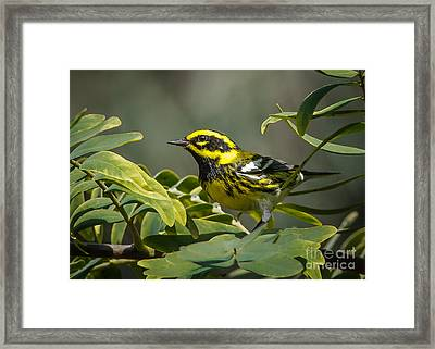 Townsend's Warbler Framed Print by Kim Michaels