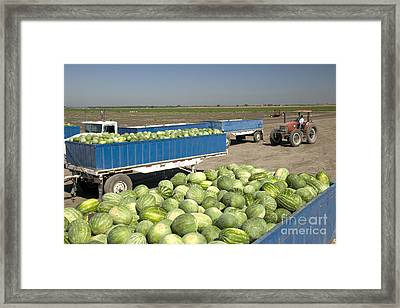 Trailers Full Of Watermelons Framed Print by Inga Spence