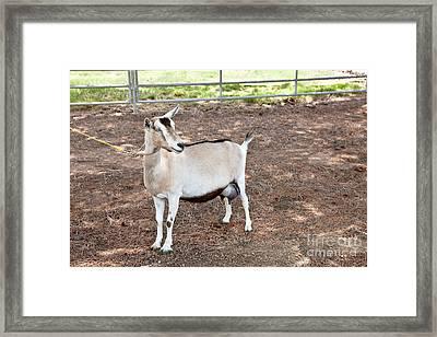 Transgenic Goat, Alpine Breed Framed Print by Inga Spence