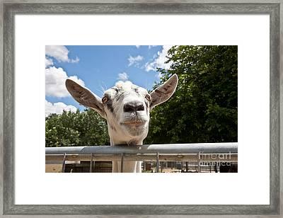 Transgenic Goat Peering Over Fence Framed Print by Inga Spence