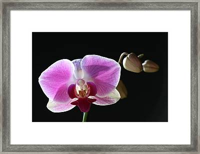 Transparent Pink Orchid Framed Print by Tammy Pool