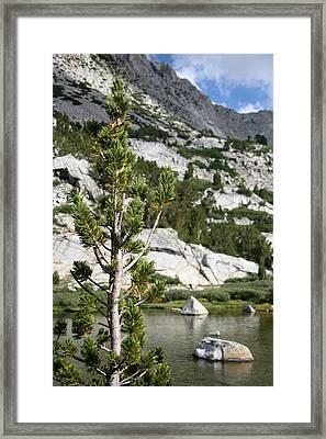 Treasure Lake Pine Framed Print by Chris Brannen