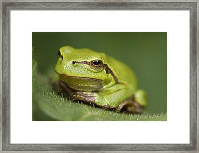 Tree Frog Cose Up Framed Print by Roeselien Raimond