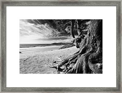 Tree Roots Carmel Beach Framed Print by George Oze