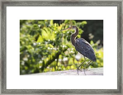 Tri-colored Heron Fledgling  Framed Print by Saija  Lehtonen