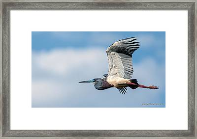 Tri-colored Heron In Flight Framed Print by Christopher Holmes
