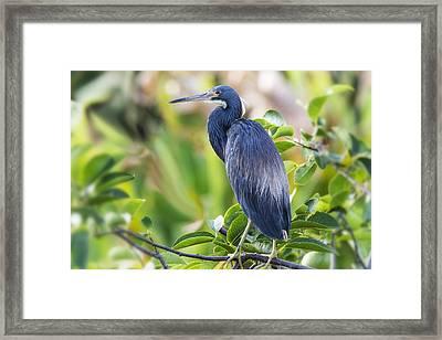 Tri-colored Heron On A Branch  Framed Print by Saija  Lehtonen