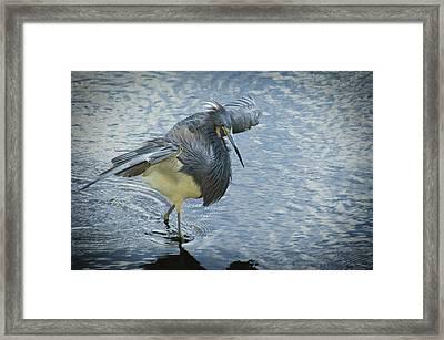 Tricolored Heron Framed Print by Carolyn Marshall