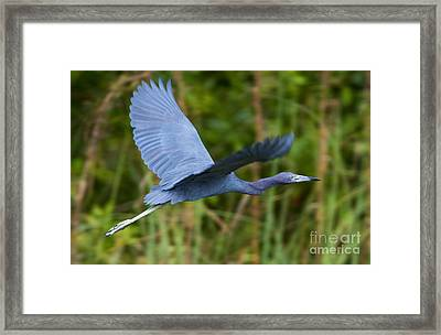 Tricolored Heron Flight Framed Print by Mike Dawson
