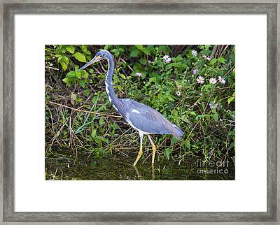 Tricolored Heron Hunting Framed Print by Mike Dawson