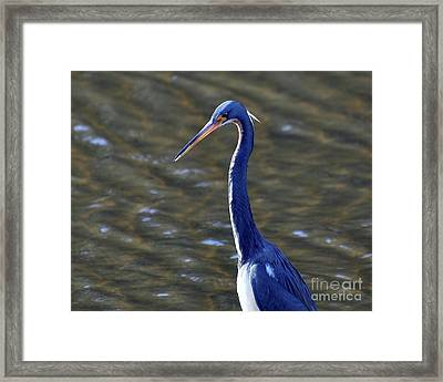 Tricolored Heron Pose Framed Print by Al Powell Photography USA