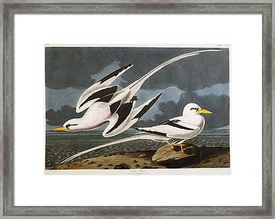 Tropic Bird Framed Print by John James Audubon