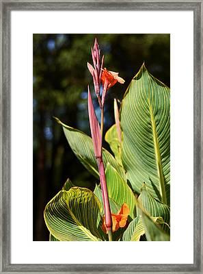 Tropical Beauty - Orange Canna Framed Print by Connie Fox