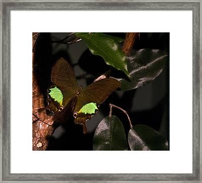 Tropical Buterfly Framed Print by Douglas Barnett