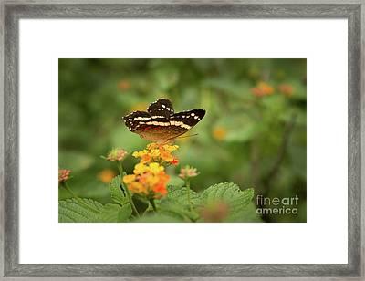 Tropical Butterfly Framed Print by Ana V Ramirez