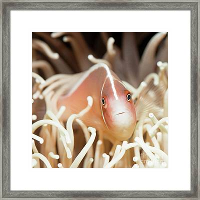 Tropical Fish Pink Clownfish Framed Print by MotHaiBaPhoto Prints