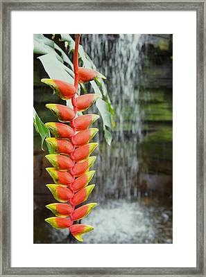 Tropical Flower Heliconia Framed Print by Art Spectrum