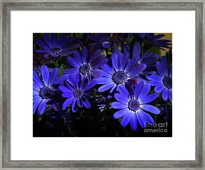 True Blue Pericallis Senetti Flowers Framed Print by Dorothy Lee