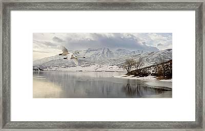 Trumpeter Swans Wintering At Deer Creek Framed Print by TL Mair