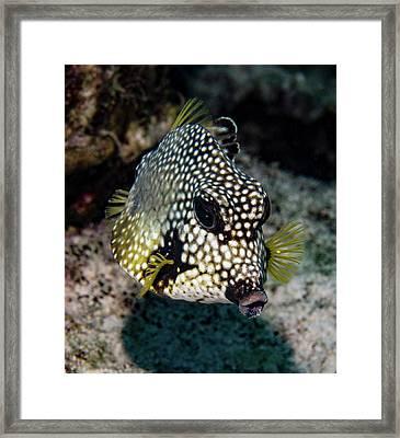 Trunkfish Portrait Framed Print by Jean Noren