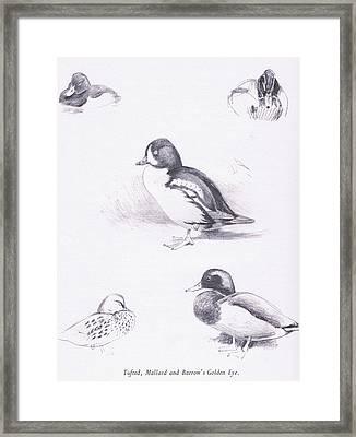 Tufted Ducks, Mallards, Barrows Goldeneye Framed Print by Archibald Thorburn