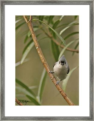 Tufted Titmouse Framed Print by Phill Doherty
