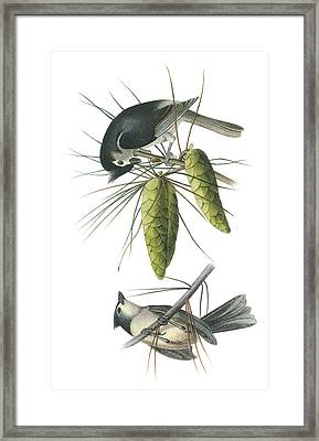 Tufted Titmoust Framed Print by John James Audubon