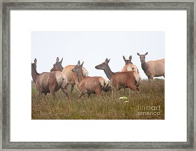 Tule Elks Into The Fog Framed Print by Wingsdomain Art and Photography
