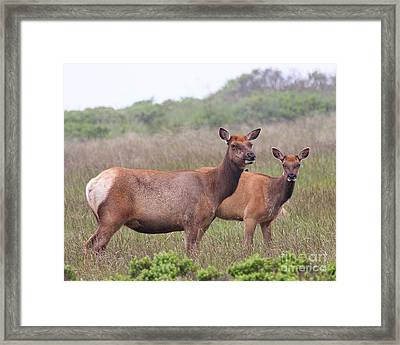 Tule Elks Of Point Reyes Framed Print by Wingsdomain Art and Photography