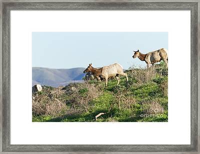 Tules Elks At Tomales Bay Point Reyes National Seashore California 5dimg9315 Framed Print by Wingsdomain Art and Photography