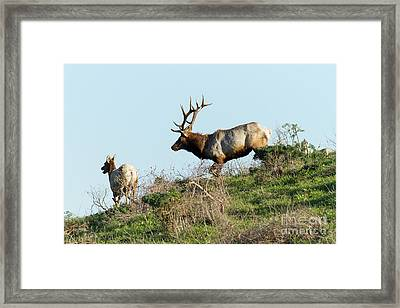 Tules Elks At Tomales Bay Point Reyes National Seashore California 5dimg9327 Framed Print by Wingsdomain Art and Photography