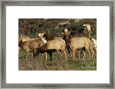 Tules Elks At Tomales Bay Point Reyes National Seashore California 5dimg9338 Framed Print by Wingsdomain Art and Photography
