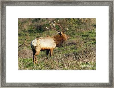 Tules Elks At Tomales Bay Point Reyes National Seashore California 5dimg9342 Framed Print by Wingsdomain Art and Photography
