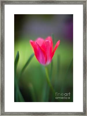 Tulip Amongst Framed Print by Mike Reid