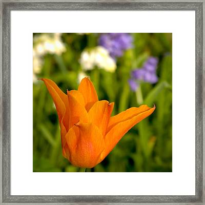 Tulip And Friends Sq Framed Print by Andy Smy