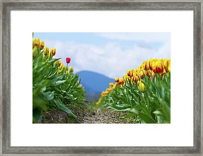 Tulip Farm Framed Print by Naman Imagery
